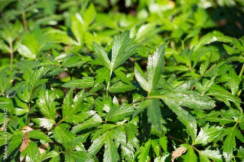 Cuadros en Lienzo トウキ(当帰)の葉(漢方薬の原料、日本原産、根を使用する)、日本、10月