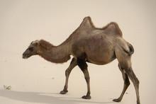 Camels Camelus Bactrianus Sand Dunes On Horizon