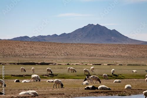 Fototapeta  Sheep in the grassland of Mongolia