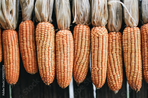 Valokuva  Background and texture of yellow dried corn stalks that are harvested from a farm in Asia