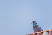 Wild Pigeons Have Light Gray Hairs. There Are Two Black Bands On Each Wing. But Both Wild Birds And Birds Have A Variety Of Colors