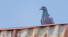 Wild Pigeons Have Light Gray H...