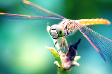 Orange Dragonfly Standing By Wood With Nature Background