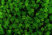 Green Leaves Pattern,leaf Shamrock Or Water Clover Background