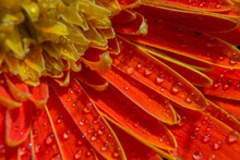 Close Up Of Droplet Water On Orange Petals Gerbera Daisy Flower