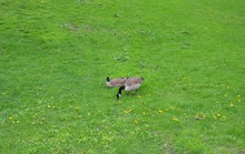 Geese Birds Eating And Sitting On Green Grass Or Lawn