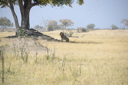 Lion, African Lion, South Africa, Safari, Simba, Lion King Canvas Print