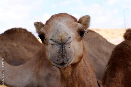 Spoed Fotobehang Kameel one-humped camels live in a nursery in a Bedouin village in the Negev desert in southern Israel