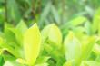 Leinwanddruck Bild - Green leaves pattern for summer or spring season concept,leaf blur textured,nature background