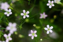 Lilac Pale Saxifrage Pink Smal...