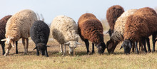 Sheep Graze In The Meadow