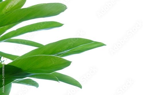 Photo Tropical Galangal plant leaves growing in a garden with sun light on white isola