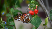 Gulf Fritillary Butterfly On F...