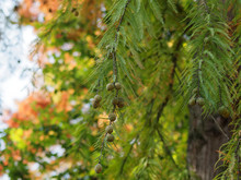 Dawn Redwood Tree (Metasequoia Glyptostroboides) With Emerald And Golden Leaves, Young Seed Bearing Cones In Autumn