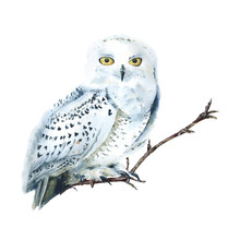 Watercolor White Polar Owl Iso...