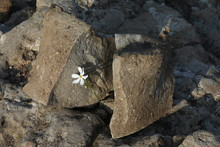 Close-up Of An Amazing Delicate White Flower In A Crevice Between The Stones.Concept: A Stubborn Living Plant In A Broken Dead Stone.Highlands Of Turkey.Background Image.Landscape Orientation
