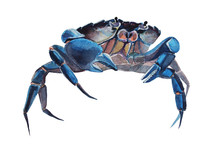 Watercolor Illustration Of Crab