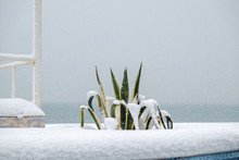 Snow Covered Agave Plant