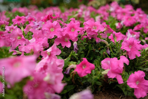 Tuinposter Roze Petunia axillaris - pink trumpet flower