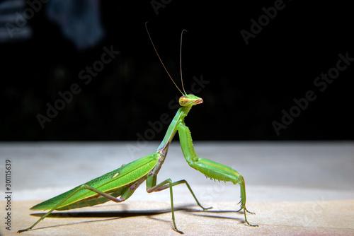 Obraz na plátně  green mantis is looking at the camera
