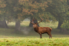 Red Deer Stag In The Autumn Fo...