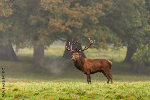 Spoed Foto op Canvas Hert Red deer stag in the autumn forest