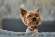 Yorkshire Terrier Dog On The Couch