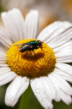 Fly, Sitting On A Large Daisy With Water Droplets, Up Close