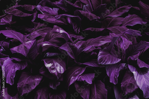 The concept of the leaves of Cannifolium spathiphyllum Abstract blue-purple surface in a tropical forest #301125428