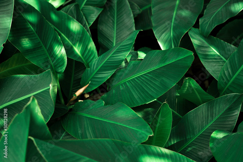 Obrazy zielone  tropical-banana-leaf-concept-natural-green-banana-leaf-green-background-in-asia-and-thai
