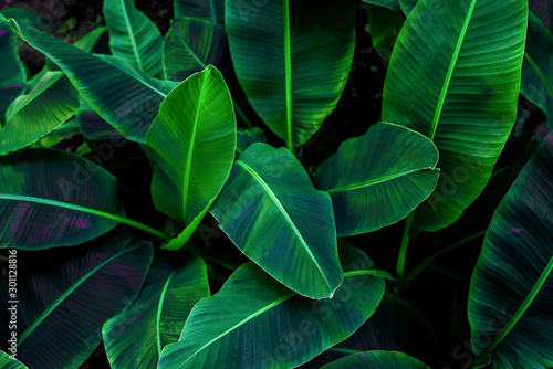 Obraz Tropical banana leaf concept, natural green banana leaf, green background in Asia and Thailand - fototapety do salonu