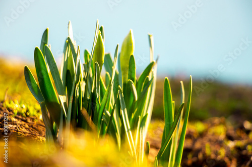 Autocollant pour porte Narcisse Narcissus leaves with the first buds on a blurred background in sunny weather_