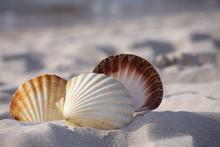 Close-up Of A Three Seashell On The Beach