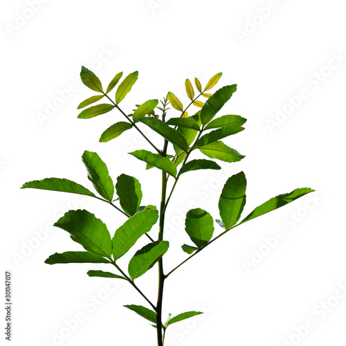 Fototapety, obrazy: Green leaf isolated on white background