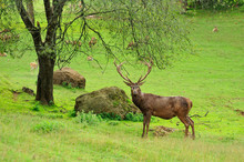 Stag Posing For Camera In Cabarceno Nature Park, Cantabria, Spain.