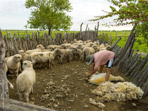 Fotomural The major sources of income for a farm come from the sale of lambs and the shearing of sheep for their wool