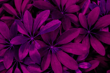 Abstract Purple Leaf Texture, ...