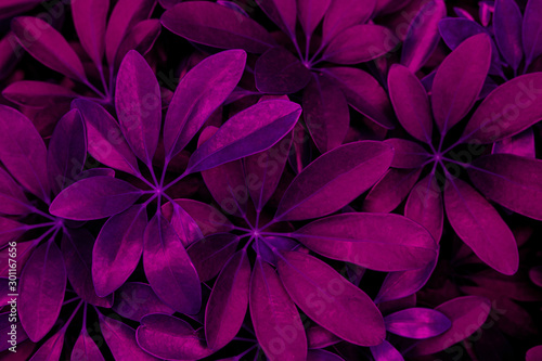 Fototapete - abstract purple leaf texture, nature background, dark tone
