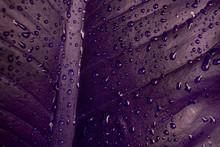 Abstract Purple Leaf Texture, Nature Background, Dark Tone