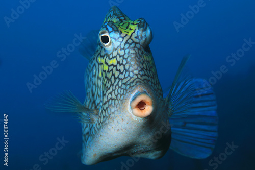 Honeycomb cowfish Wallpaper Mural
