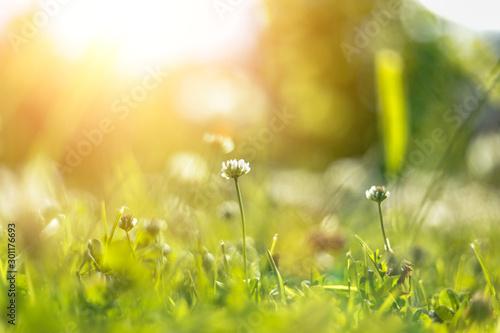 Foto auf Gartenposter Orange Field clover in the sun. Summer day. Background.