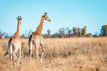 Giraffes Herd Family With Bab...