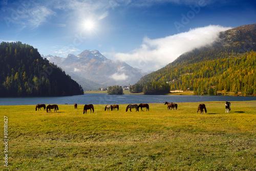 Obraz na plátne Horses in Silvaplana.