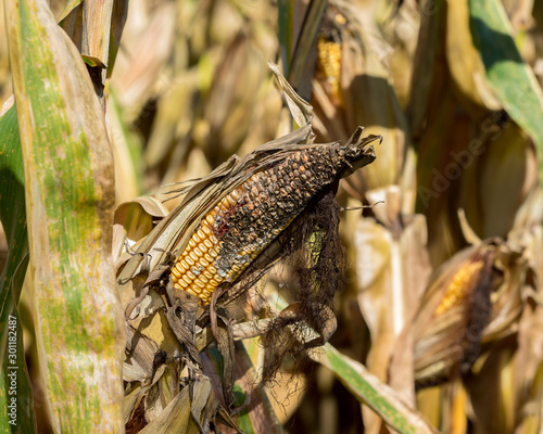 Cornfield with ear of corn on cornstalk with black kernels from rot, disease, or Obraz na płótnie