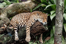 A Beautiful Brazilian Jaguar R...