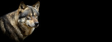 Grey Wolf With A Black Background