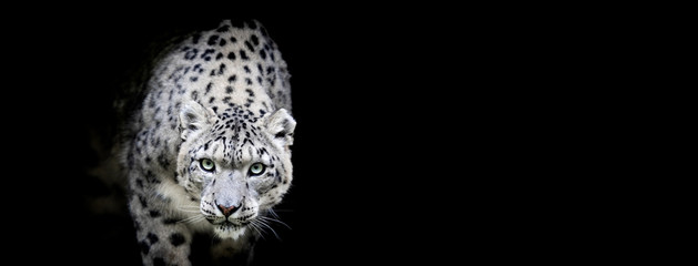 Fototapeta Pantera Snow leopard with a black background