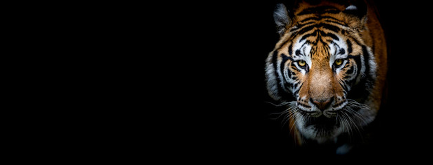 Tiger with a black background