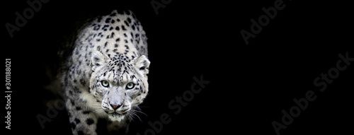 Snow leopard with a black background Tableau sur Toile