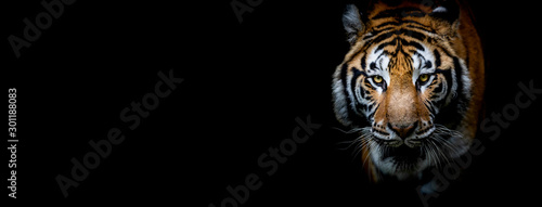 Tablou Canvas Tiger with a black background